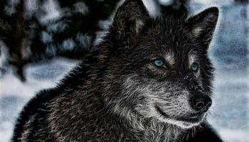 Дикие Волки — конечно, не люди, но они лучше многих людей…