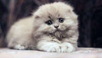 Котики породы «Хайленд-фолд» — это самые мимишные создания на Земле