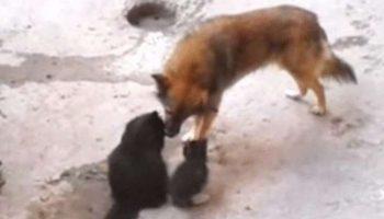 Кошка привела своих котят в гости к собаке. Дружеское трогательное видео!