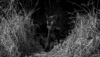 Британцу удалось заснять редкого чёрного леопарда — впервые за последние 100 лет