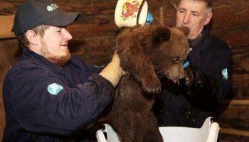 Итак 20 лет: Один мужчина из Тверской области спас и помогает более 200 медвежатам