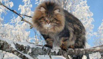 Шикарная Фотосессия красавца сибирского кота