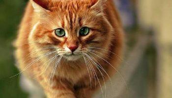 Этот кот-рыжик, как «Ангел-хранитель», отплатил людям за их добро