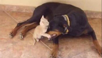 Огромный Доберман и 2-месячный друг-котёнок