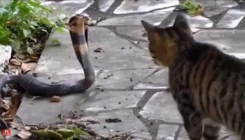 Кот — самый опасный зверь в мире. И мы вам предоставим видеофакт!