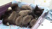Добрейшая Кошка Муся «усыновила» 8 сирот-ежиков, и стала для них настоящей мамочкой