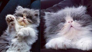 «Овечий кот»: 10 снимков шикарного персидского котика с невероятной шерстью