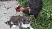 Смелая Курочка подошла к коту и нагло клюнула его