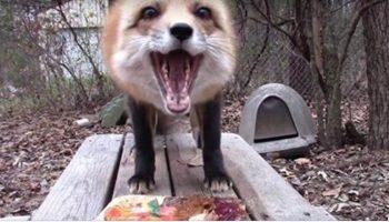 Мужчина угостил лису кое-чем вкусненьким. Реакция животного — просто фантастическая!