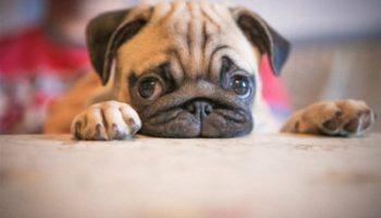 5 самых добрых и милых пород собачек