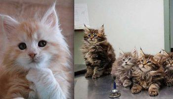 Мимишные фото: Милые Котята мейн-куны невероятной красоты