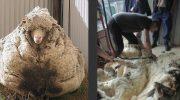 В Австралии нашли овцу, которая ушла от хозяина и скиталась целых 5 лет