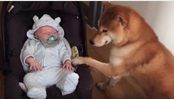 Грудничка-малыша впервые принесли домой. Реакция собаки поражает