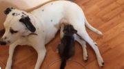 Щедрое сердце: Собака кормит своим молоком маленьких котят