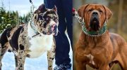 7 самые «опасных» пород собак, которые существуют на Земле
