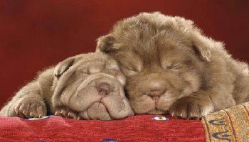 10 прелестных и невероятно милых фото сладко спящих щеночков