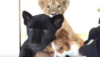 Храбрая Собака, Гордая Пантера и Маленький Лев – друзья навеки!