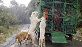 Самый необычный зоопарк в мире — люди в клетках, животные на воле