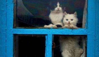 Они точно умеют ждать: Пушистые «ждуны» ждут своих хозяев домой у окна!