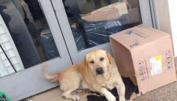 Один преданный лабрадор 7 дней сидел у дверей больницы в ожидании своего хозяина