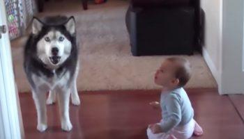 Мама застукала собаку-хаски и малыша за разговором. Смешной и забавный диалог!