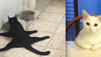 Сумасшедшие коты, которые ведут себя весьма весьма странно