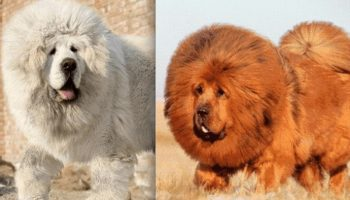 Это самая дорогая собака в мире! Как выглядит настоящий тибетский мастиф