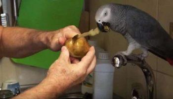 Попугай помогает хозяину чистить картошку, а заодно и рассказывает о том – о сем