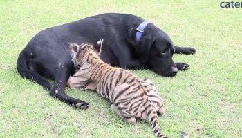 Только представьте себе: Эта Собака «усыновила» настоящего тигра