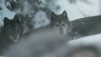 Невероятное видео: У этих волков – настоящая человеческая душа