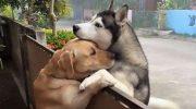 Пес убегает из своего двора, чтобы через забор обнять своего лучшего друга
