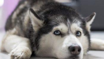Эта собачка-хаски знает более 12 «человеческих» слов