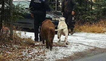 Кабан настойчиво требовал, чтобы полиция вернула его собаку… Уморительная история о дружбе!