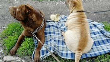 2 милейших шарпея приняли утенка в семью, и тот считает себя собакой