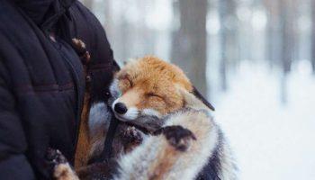 Бывает я свою лисичку поругаю, а она плачет, как человек, даже слезы текут
