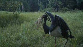 Снимки Природы из лесов Чернобыля. Камеры фиксируют невероятные вещи!