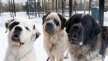 3 огромных сенбернаров попали в приют, и стало понятно, что им нужен особенный хозяин