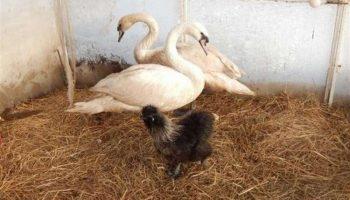 Женщина спасла жизни целой стаи лебедей, замерзающих на пруду