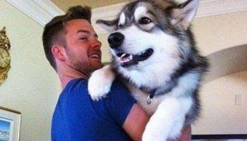 Огромные собаки, которые до сих пор думают, что они маленькие щеночки