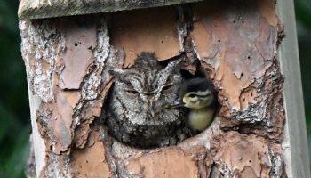 Природа милосердна: Фотограф нашёл дупло с совой, растящей утёнка
