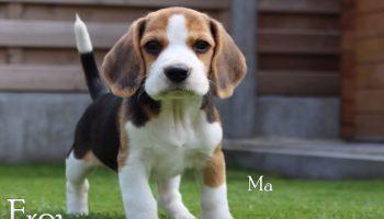 Минута интересного: Как взрослеет щенок породы бигль