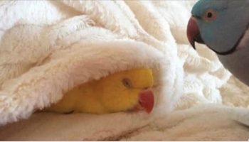 Попугай просто не хочет просыпаться утром