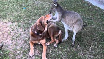 Как однажды Кенгуру подошел к собаке
