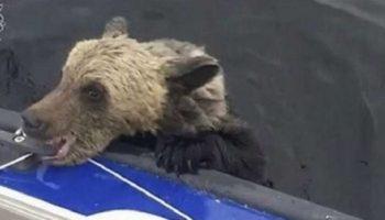 Медведица переплывала озеро с детьми. На полпути она устала и вернулась, а дети начали тонуть