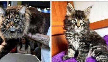 Официально — Этот кот самый длинный на всей Планете