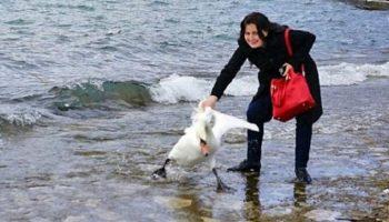Ради селфи-фото девушка вытащила из озера лебедя. Последствия были ужасны…