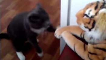 Как один кот возненавидел игрушечного тигра
