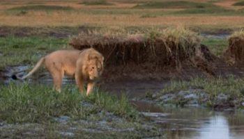 Лев поблагодарил своего друга, который спас его от 20 гиен