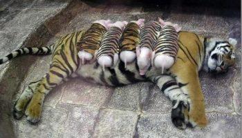 Тигрица потеряла своих детенышей и не могла найти себе место. Тогда работники зоопарка надели на поросят полосатые костюмы и завели их к ней в клетку…