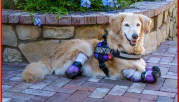 У ретривера Чи-Чи нет лапок, но она — самая известная собака-терапевт в Лос-Анджелесе